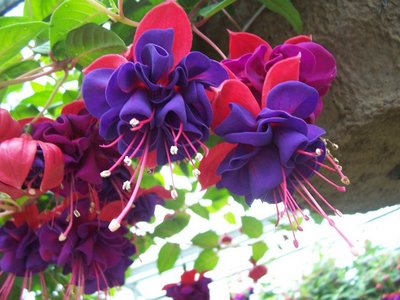 Fuschia-flowers-arosyoutlook-a-rosy-outlook