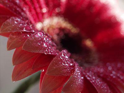 Scarlet-daisy-arosyoutlook